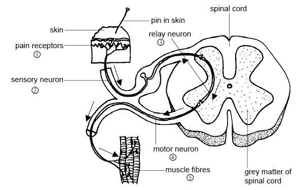 Figure 1: A reflex arc.